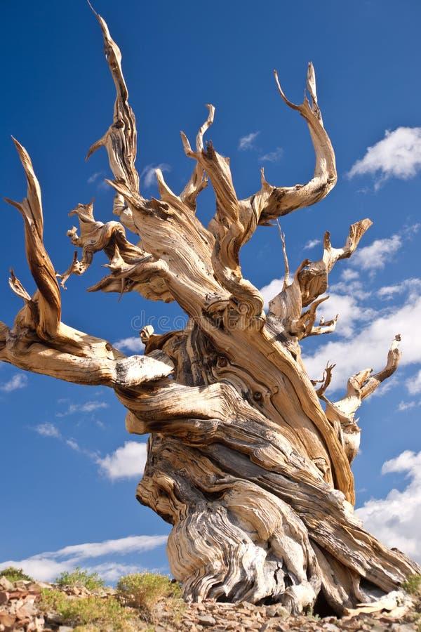 De Oudste boom van de wereld: de pijnboom Bristlecone royalty-vrije stock afbeeldingen