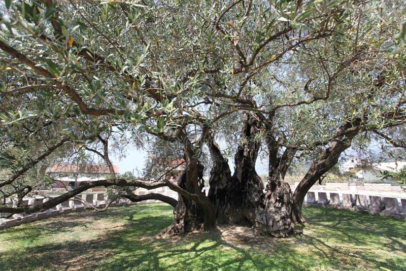 De oudste olijfboom (Europa) riep Stara Maslina stock foto