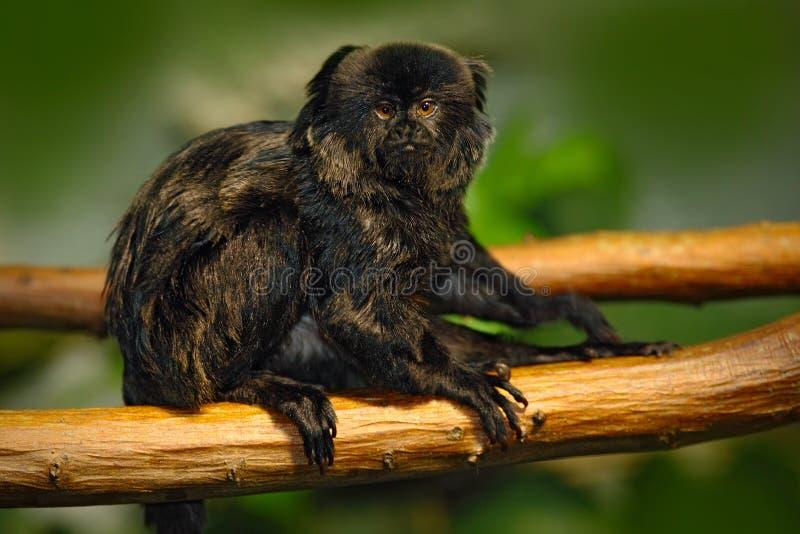 De Ouistiti van Goeldi of de Aap van Goeldi, Callimico-goeldii, donkere aap in de aardhabitat, stock fotografie