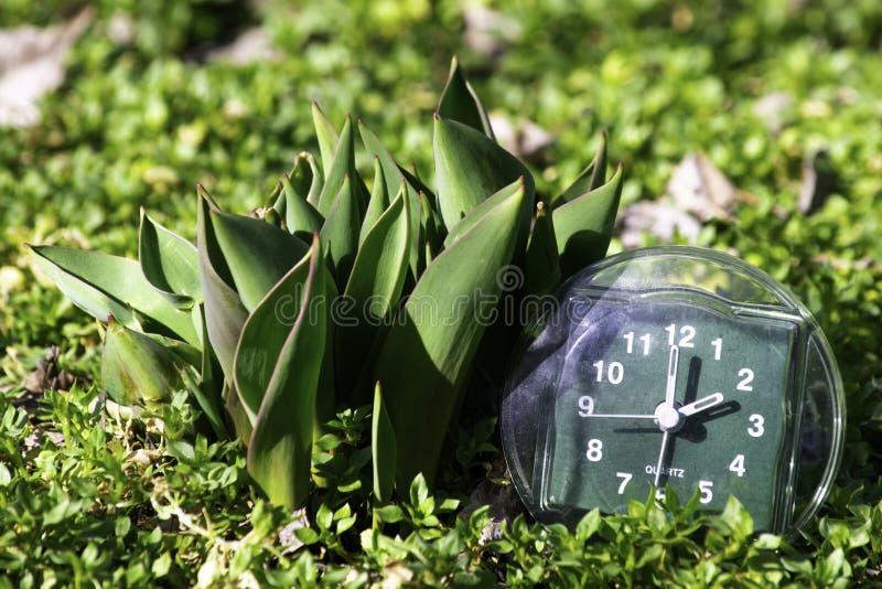 De overgang naar de zomertijd, de aankomst van de lente, de klok op het groene de lentegras naast de jonge onontloken tulpenbloem stock afbeelding