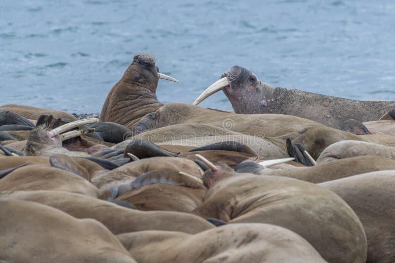 De overvolle bos, Walrusses in Svalbard stock afbeeldingen