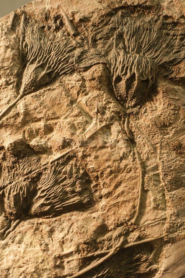 De overzeese fossielen van Crinoid royalty-vrije stock afbeelding