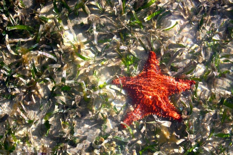 De Overzeese van het kussen Zeester van de Ster in Ondiep Water