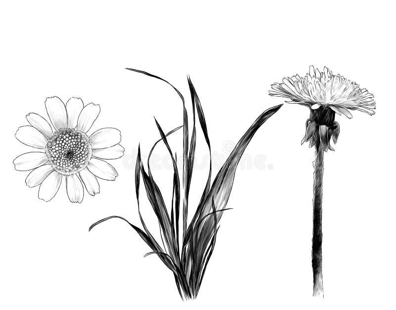 De paardebloem van het Wildflowersgras en Daisy reeks royalty-vrije illustratie