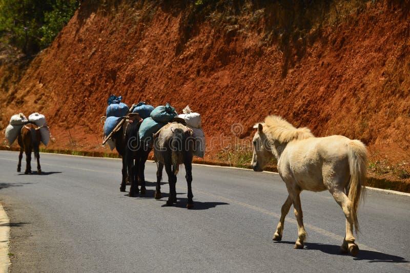 De paarden die in de weg, Lugu-meer lopen royalty-vrije stock afbeeldingen