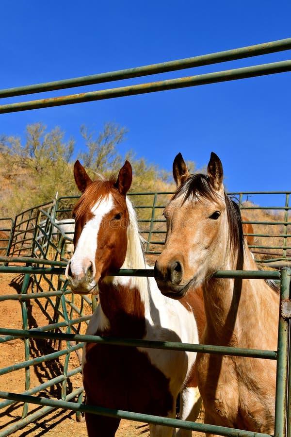 De paarden die over leunen drijven poort bijeen stock foto