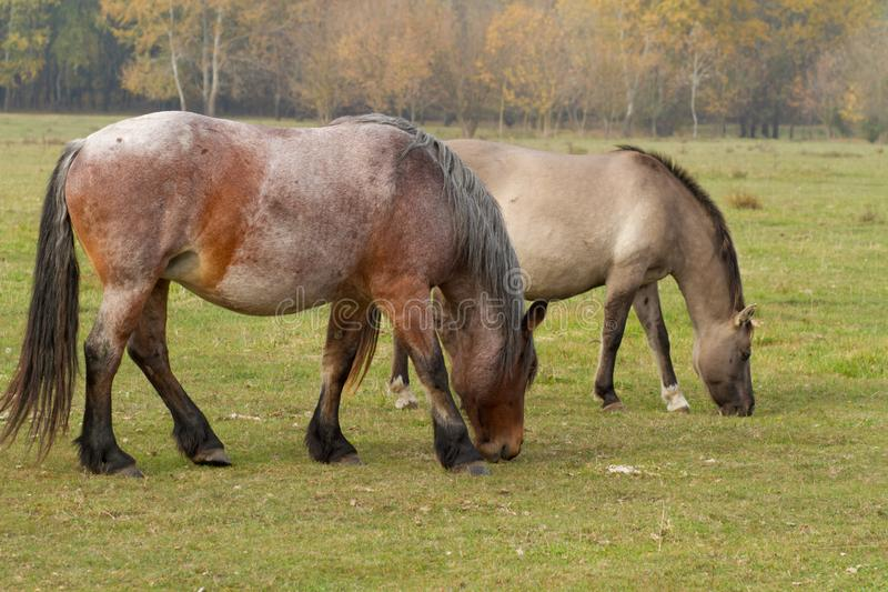 De paarden eten gras in het weiland royalty-vrije stock foto