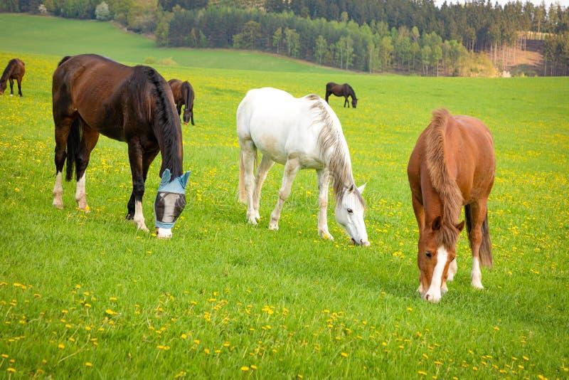 De paarden eten de lentegras op een gebied royalty-vrije stock afbeelding