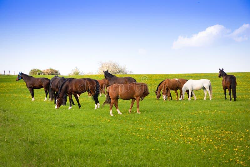 De paarden eten de lentegras op een gebied stock foto's