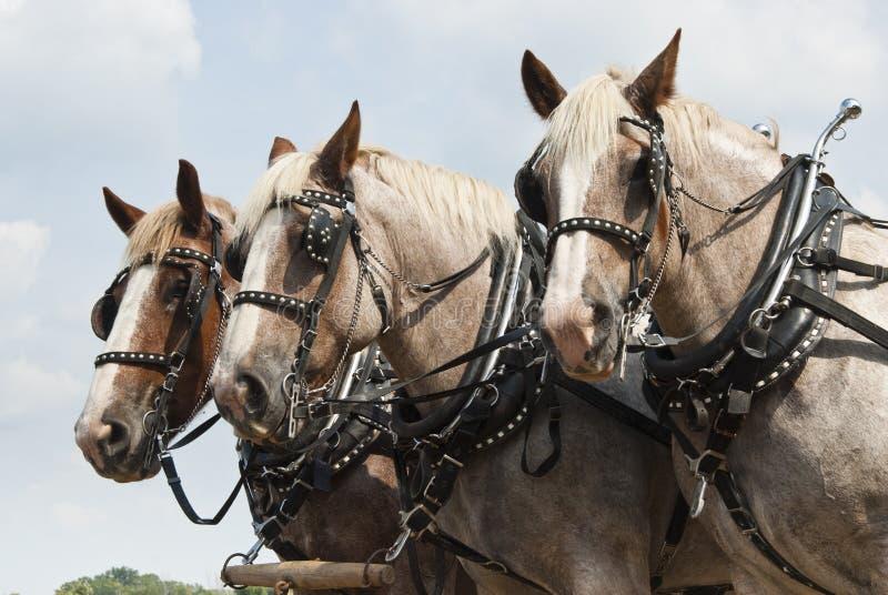De paarden van de trekking stock foto's