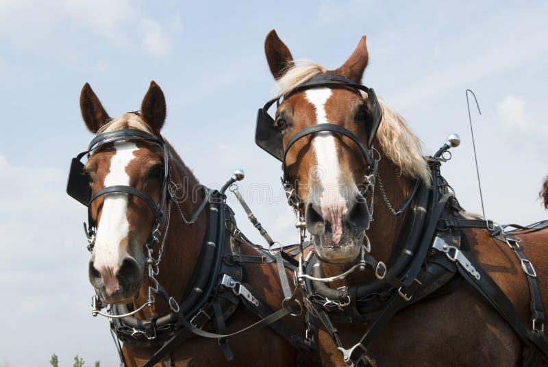 De paarden van de trekking stock fotografie