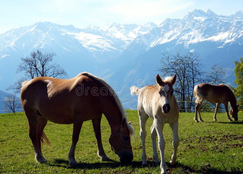 De paarden van het Haflingerras in St Catarine, Zuid-Tirol, Itali? stock foto's
