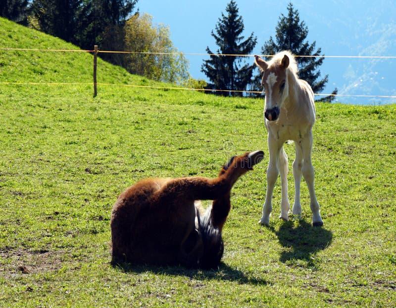 De paarden van het Haflingerras in St Catarine, Zuid-Tirol, Itali? royalty-vrije stock afbeeldingen