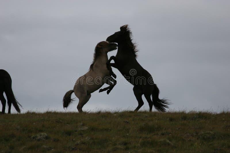 De paarden van IJsland royalty-vrije stock foto