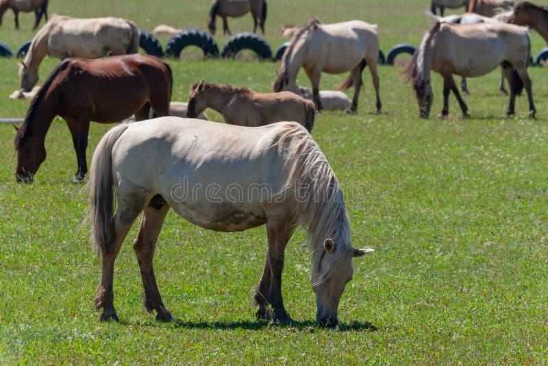 De paarden weiden op een groen weiland Paarden, close-up Basjkirië royalty-vrije stock afbeelding