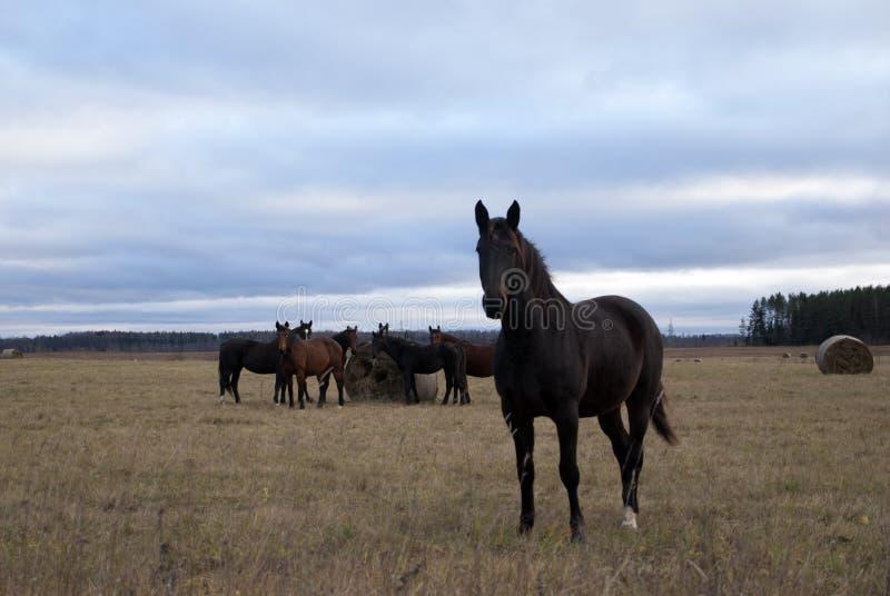De paarden weiden op het gebied stock afbeeldingen