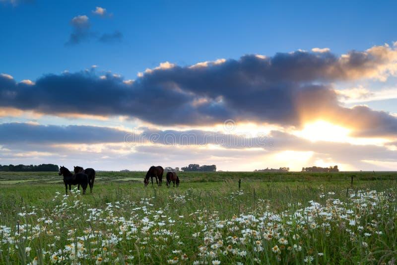 De paarden weiden op weiland bij gouden zonsondergang royalty-vrije stock afbeeldingen