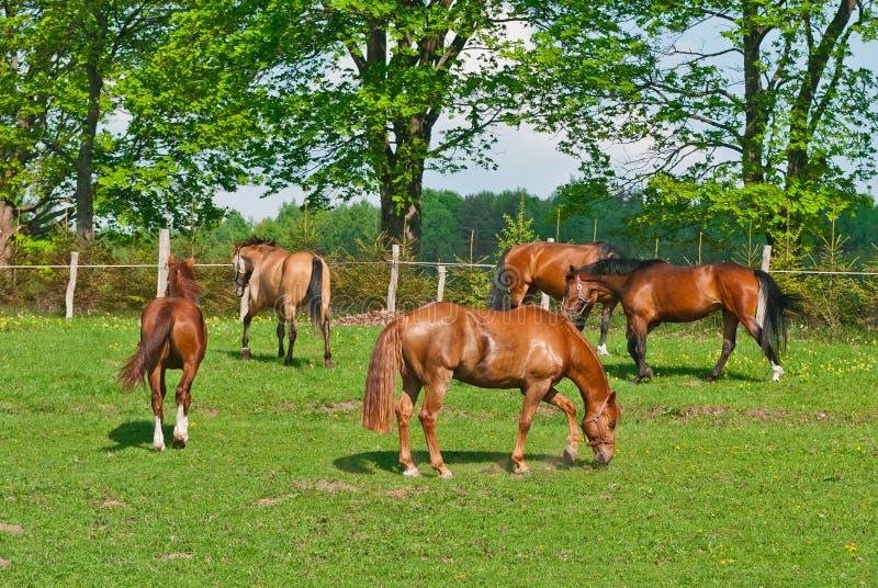 De paarden zijn geweid op een weide royalty-vrije stock afbeeldingen