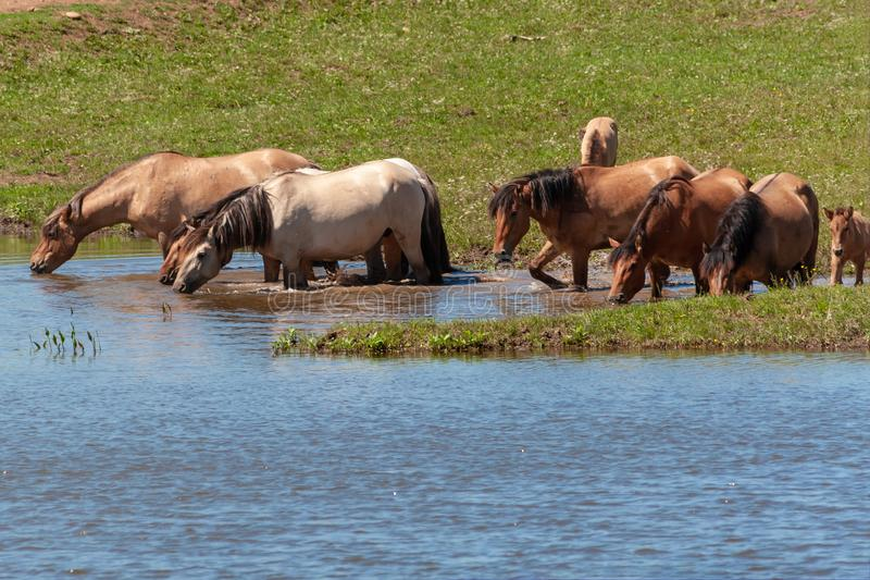 De paarden zijn in het water en drinken water Basjkirië royalty-vrije stock afbeelding