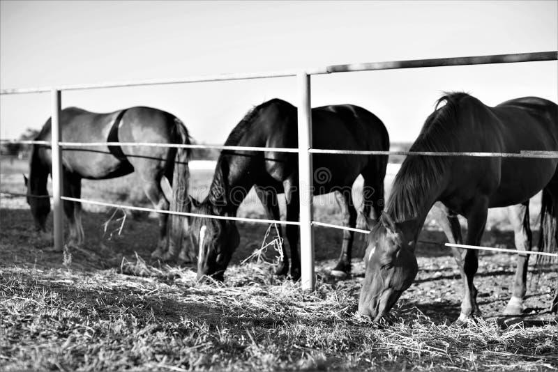 De paardfamilie eet gras royalty-vrije stock afbeeldingen