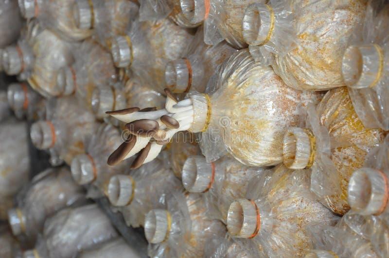 De Paddestoel of Lung Oyster van Phoenix stock afbeeldingen