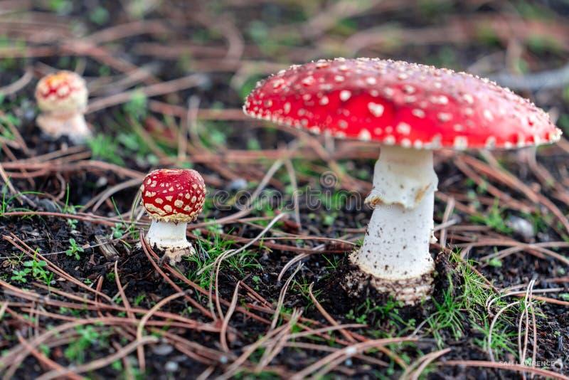 De paddestoel van amanietmuscaria royalty-vrije stock foto's