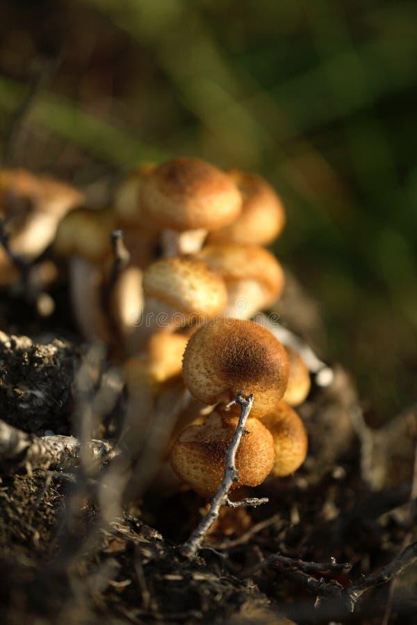 De paddestoel van de honing stock foto's