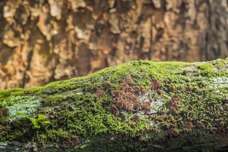 De Paddestoel van de Schizophyllumcommune op mossenachtergrond stock fotografie