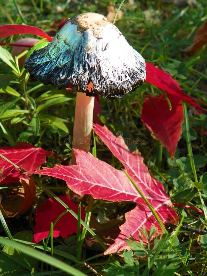 De paddestoel & x28 van Shaggy Mane; Coprinus comatus& x29; onder dalings rode bladeren stock fotografie
