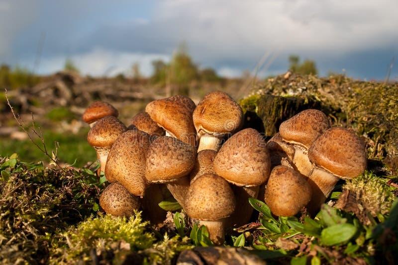 De paddestoelen van de honing, paddestoelen in een bos stock foto's