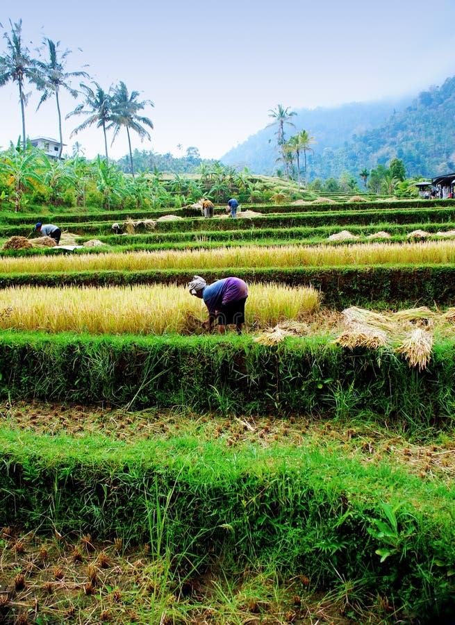 De padiegebied van Bali royalty-vrije stock afbeelding