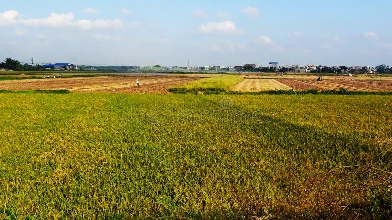 De padievelden zijn rijp tijdens het oogstseizoen stock foto