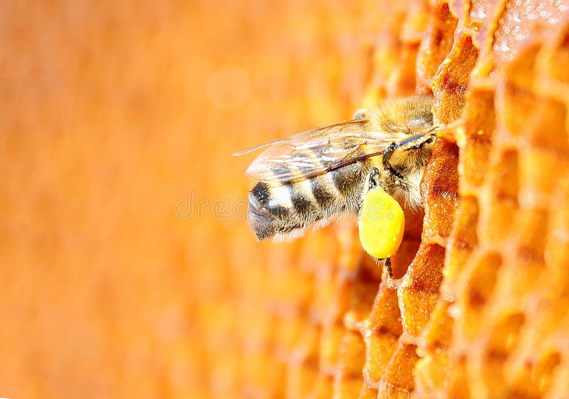 De pakken van het bijenstuifmeel in de cel Honingraat royalty-vrije stock fotografie