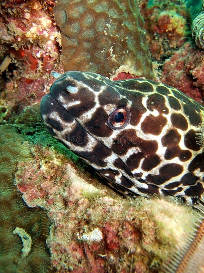 De paling van Moray stock afbeelding