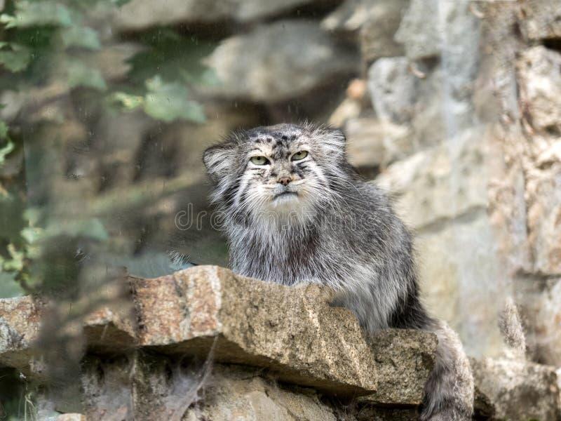 De Pallas` kat, Otocolobus manul, ziet rond eruit royalty-vrije stock afbeeldingen