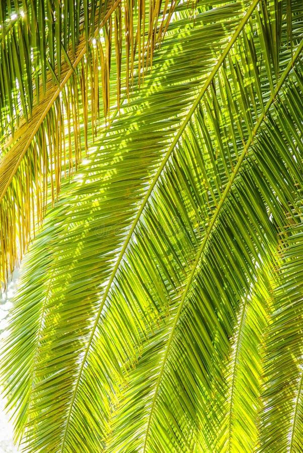 De palm doorbladert stock afbeelding