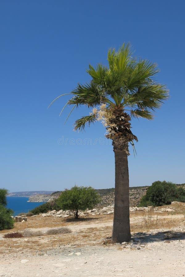 De palm van Cyprus stock afbeeldingen