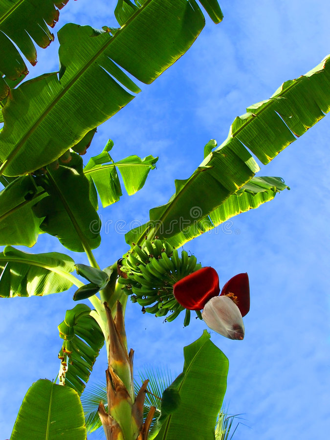De palm van de banaan royalty-vrije stock foto's
