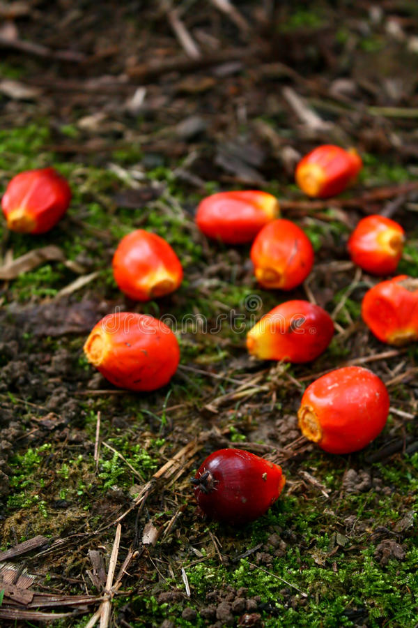 De Palm van de olie Fruitlets stock afbeelding