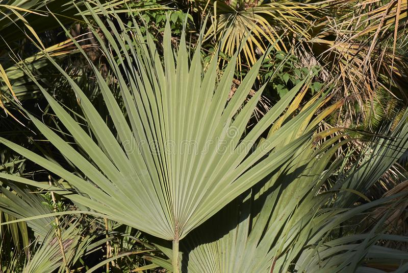 De palm van Nannorrhopsritchiana stock foto's