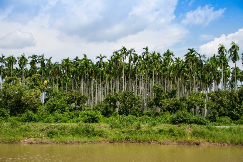 De palmaanplanting van de betel stock foto's
