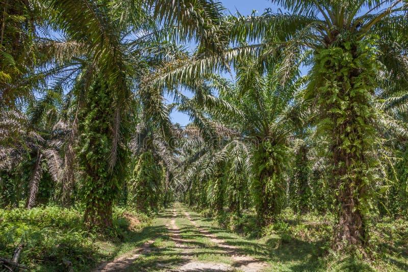 De palmaanplanting van de olie royalty-vrije stock afbeelding