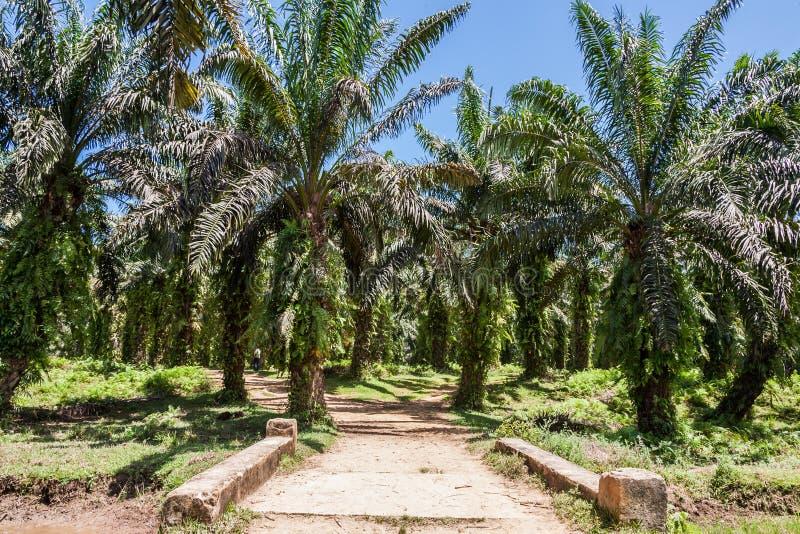 De palmaanplanting van de olie stock foto's