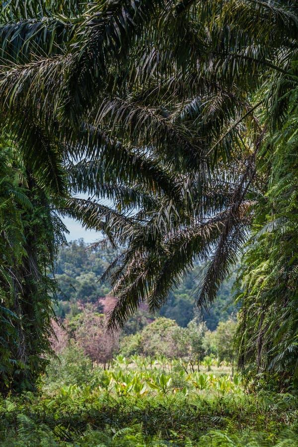De palmaanplanting van de olie stock fotografie
