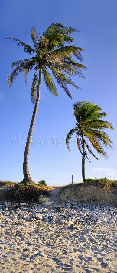 De palmen van de kokosnoot royalty-vrije stock foto