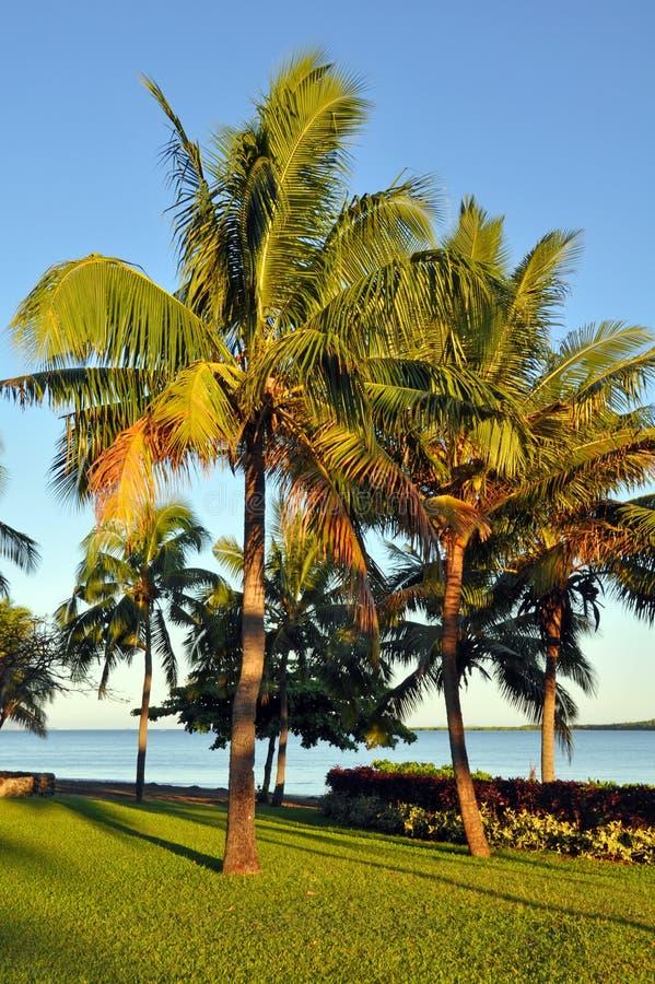De Palmen van de kokosnoot in Dawn in Fiji royalty-vrije stock afbeeldingen