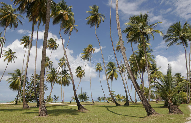 >De palmen van Tobago stock foto