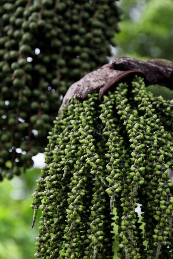 De palmzaad van Arengapinnata stock afbeeldingen