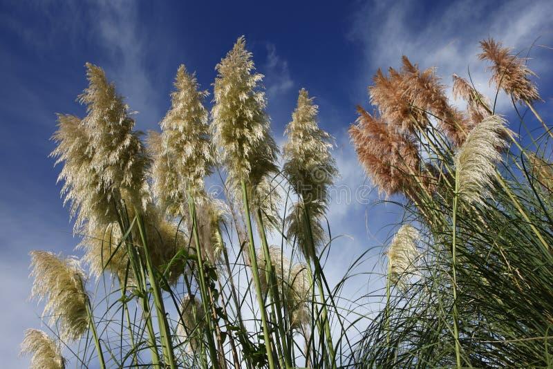 De Pampagrassen van Nieuw Zeeland stock afbeelding