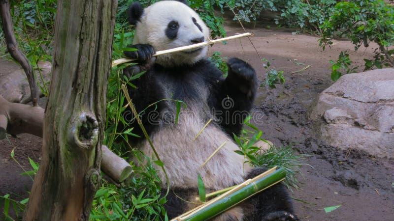 De panda draagt hebbend wat Bamboe royalty-vrije stock foto's